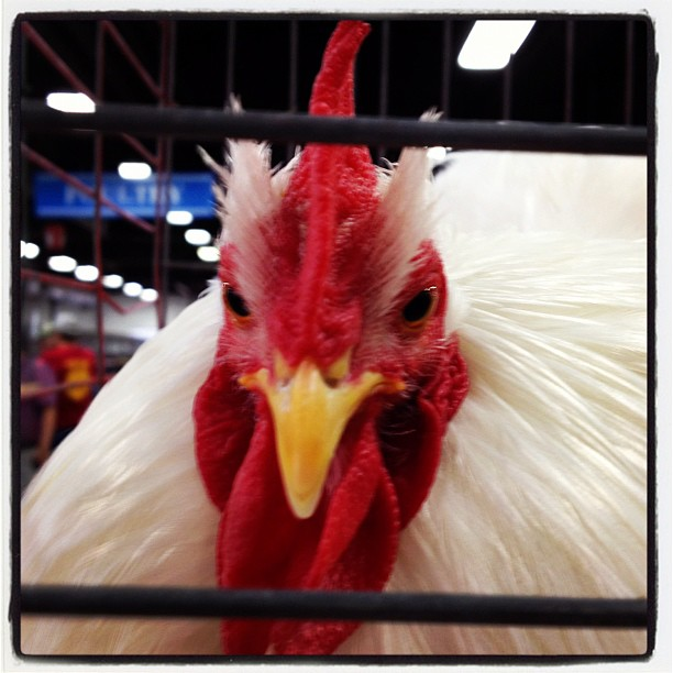 white rooster with red comb and wattle